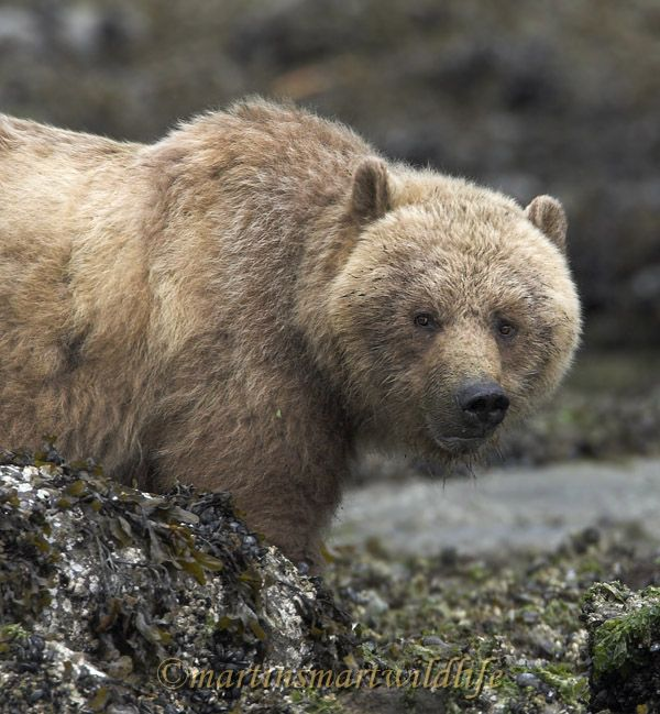 Grizzly_Bear_6670x.jpg