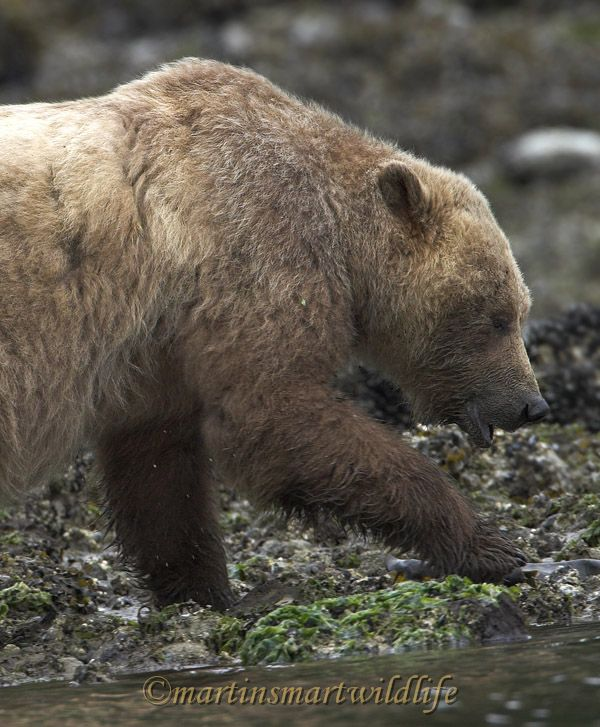 Grizzly_Bear_6713x.jpg