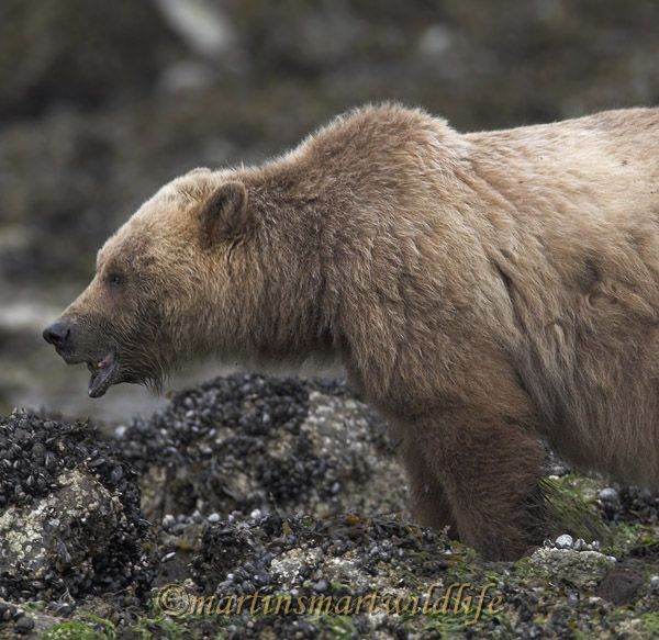 Grizzly_Bear_6722x.jpg