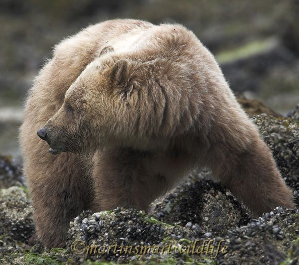 Grizzly_Bear_6738x.jpg