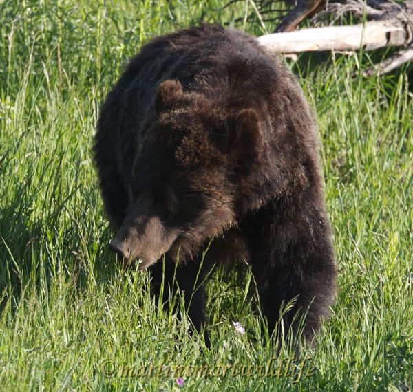 Grizzly_Bear_7463x.jpg