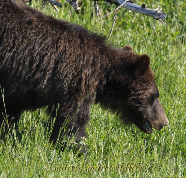 Grizzly_Bear_7476x.jpg