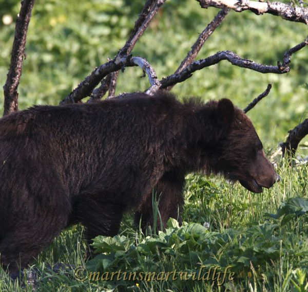 Grizzly_Bear_7496x.jpg