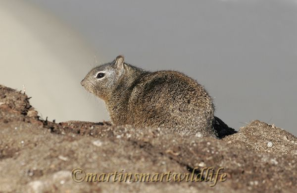 Ground Squirrel(1c).jpg
