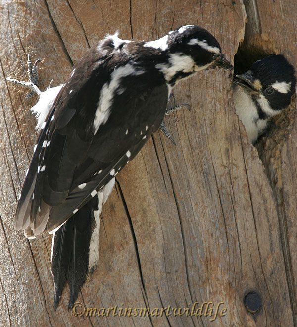Hairy_Woodpecker_7285x.jpg