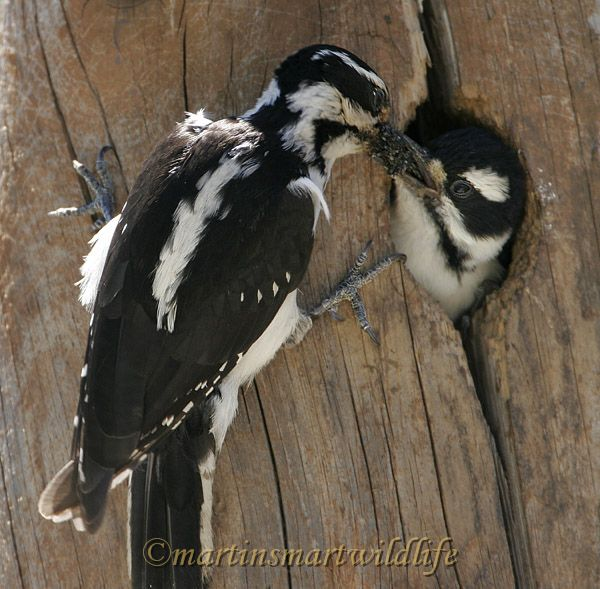 Hairy_Woodpecker_7288x.jpg