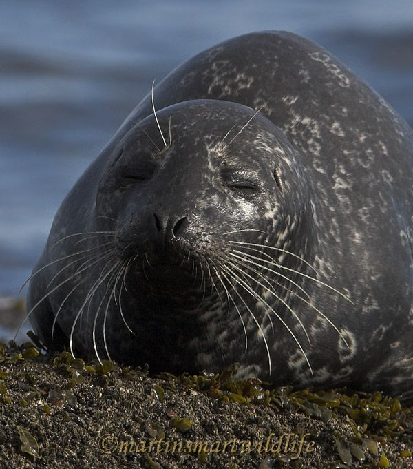 Harbour_Seal_2159bx.jpg