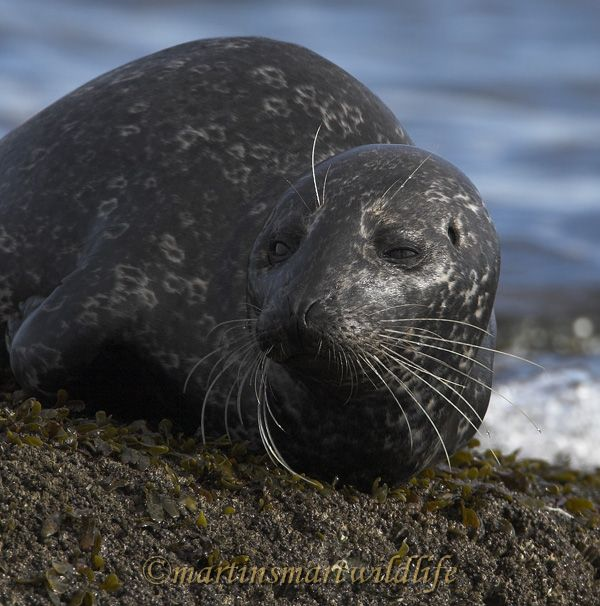 Harbour_Seal_2176x.jpg