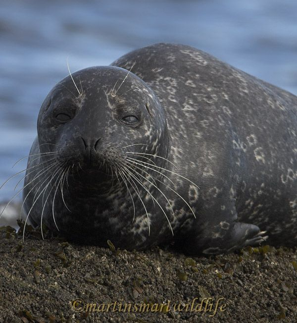 Harbour_Seal_2188x.jpg