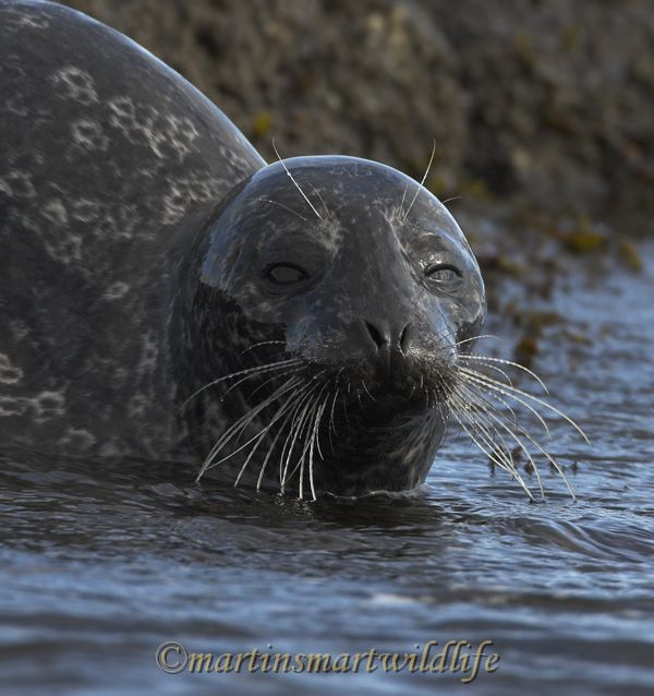 Harbour_Seal_2193x.jpg