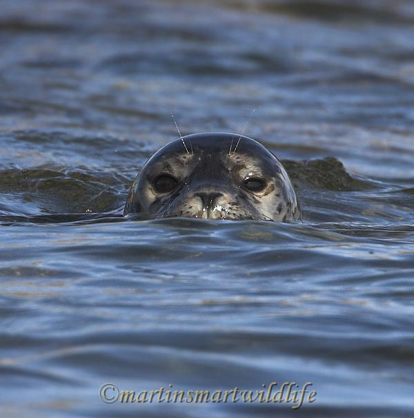 Harbour_Seal_8991x.jpg