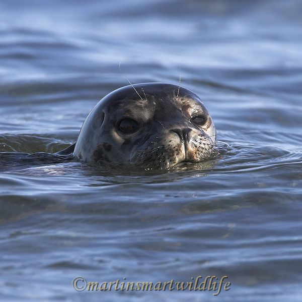 Harbour_Seal_8998x.jpg