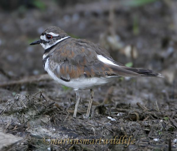 Killdeer_6278x.jpg