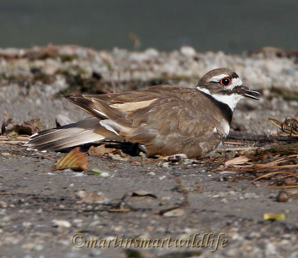 Killdeer_6342x.jpg