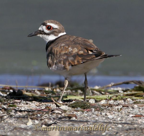 Killdeer_6346x.jpg