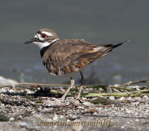 Killdeer_6348x.jpg