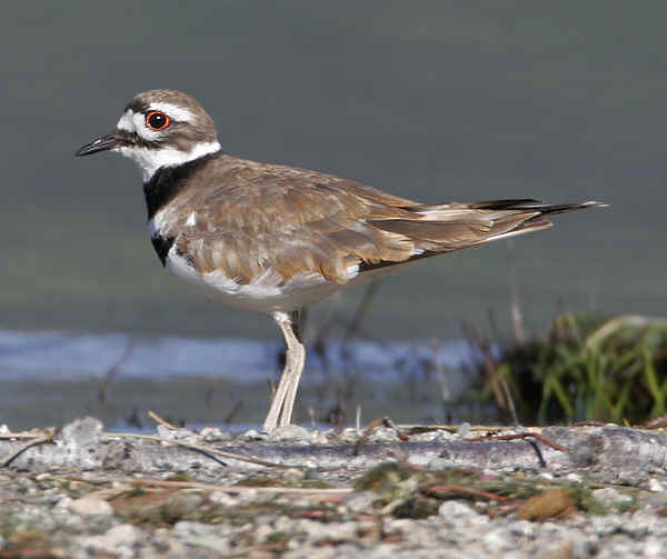 Killdeer_6349x.jpg