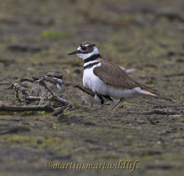 Killdeer_6944ax.jpg