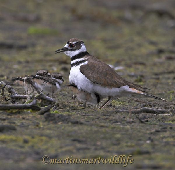 Killdeer_6945x.jpg