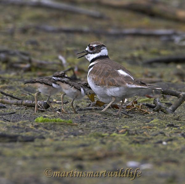 Killdeer_6948x.jpg
