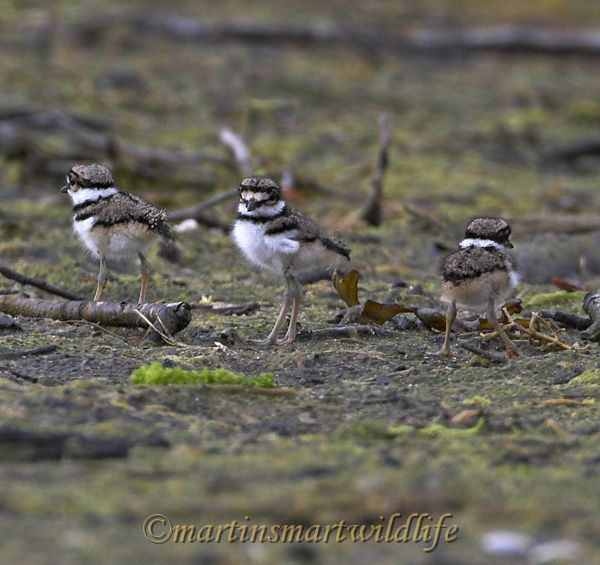 Killdeer_6950x.jpg