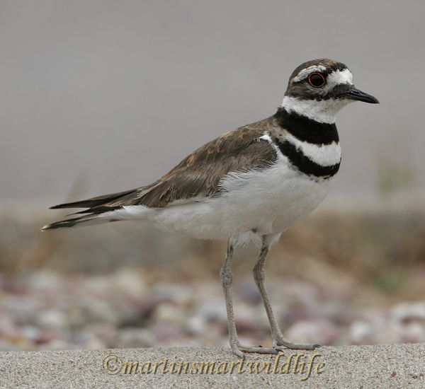 Killdeer_7000x.jpg