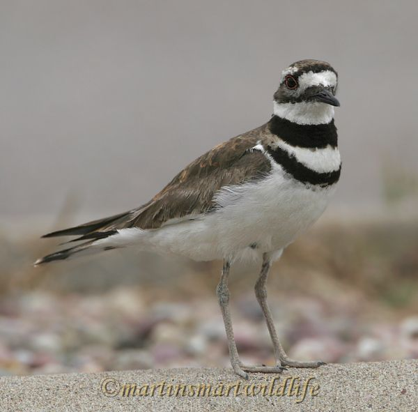 Killdeer_7002x.jpg