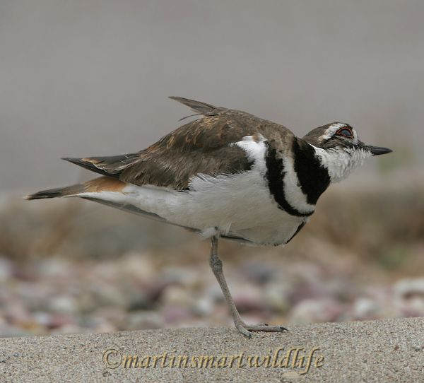 Killdeer_7008x.jpg