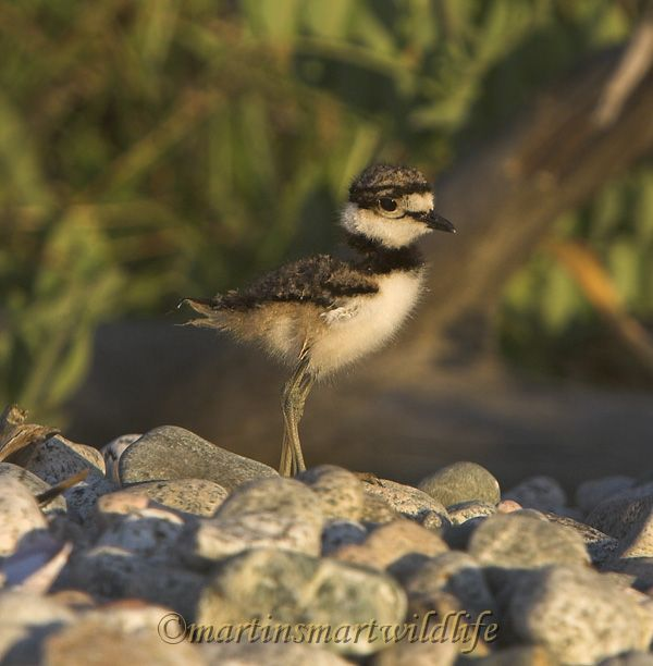 Killdeer_7528x.jpg