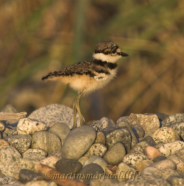 Killdeer_7542x.jpg