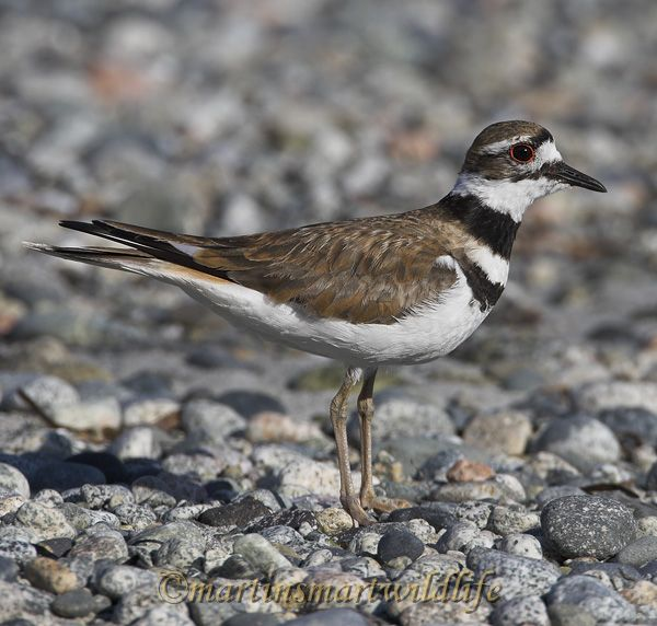 Killdeer_7588x.jpg