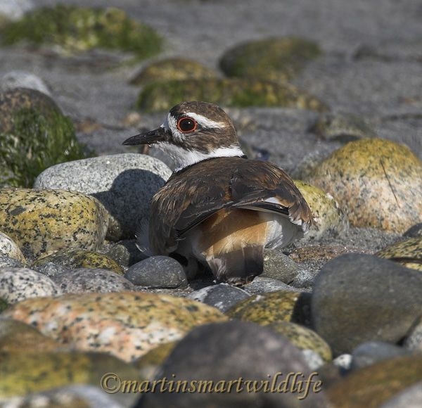 Killdeer_7612x.jpg