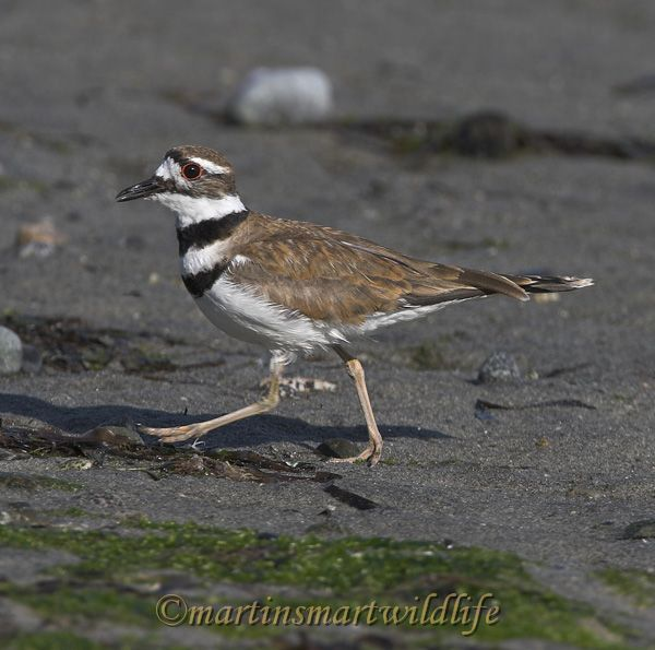 Killdeer_7617x.jpg