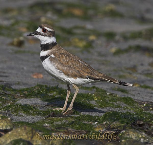 Killdeer_7618x.jpg