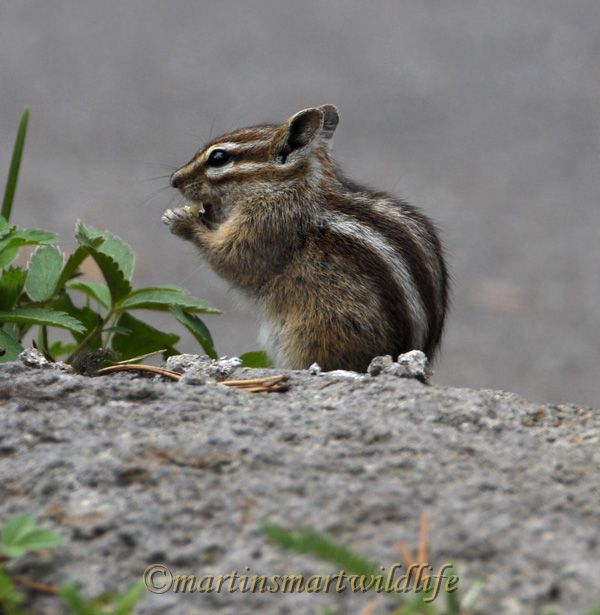 Least_Chipmunk_7580x.jpg