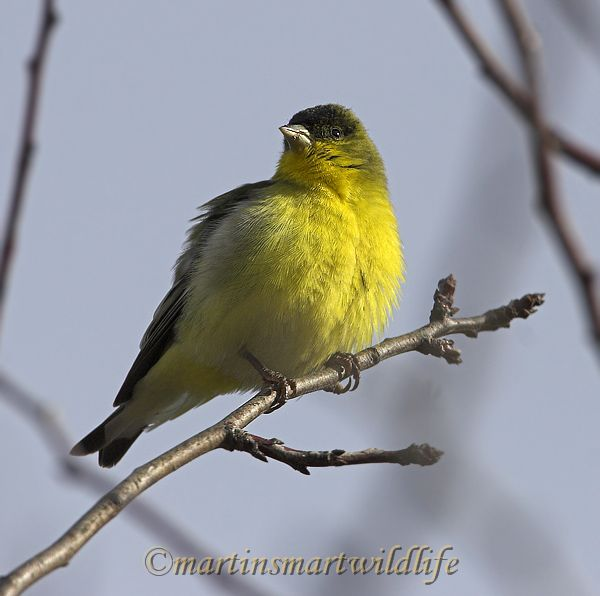 Lesser_Goldfinch_1510x.jpg