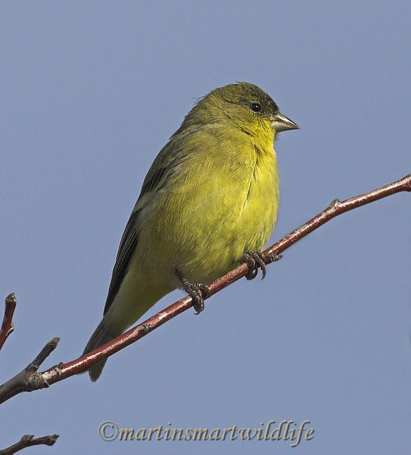Lesser_Goldfinch_1519x.jpg