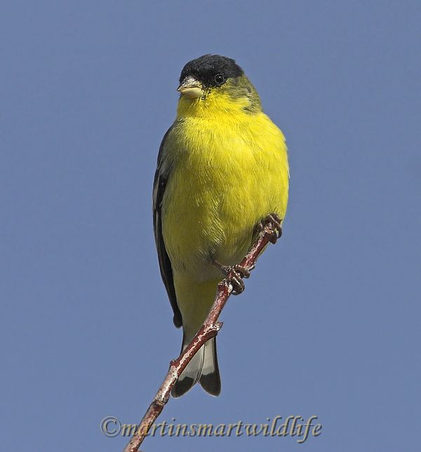 Lesser_Goldfinch_1524ax.jpg