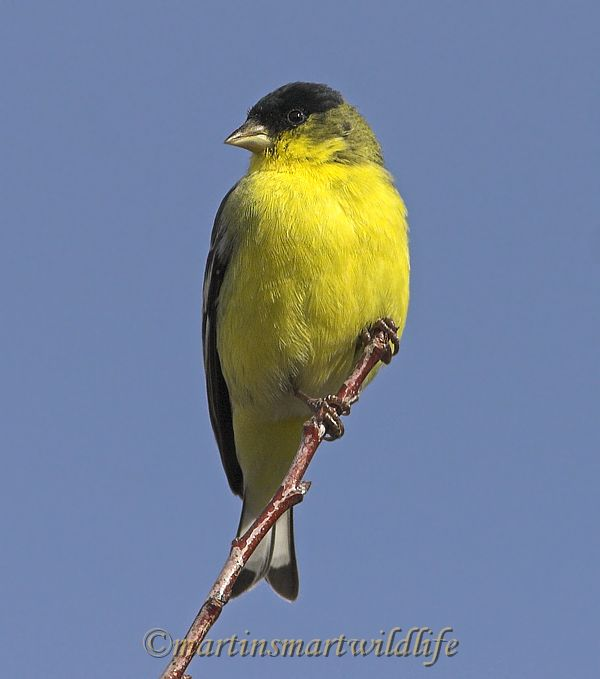 Lesser_Goldfinch_1525x.jpg