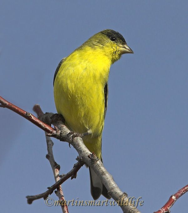 Lesser_Goldfinch_1528ax.jpg