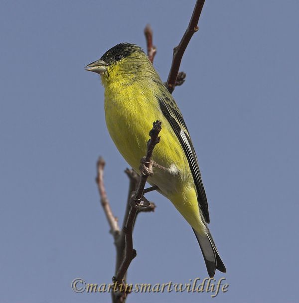 Lesser_Goldfinch_1534x.jpg