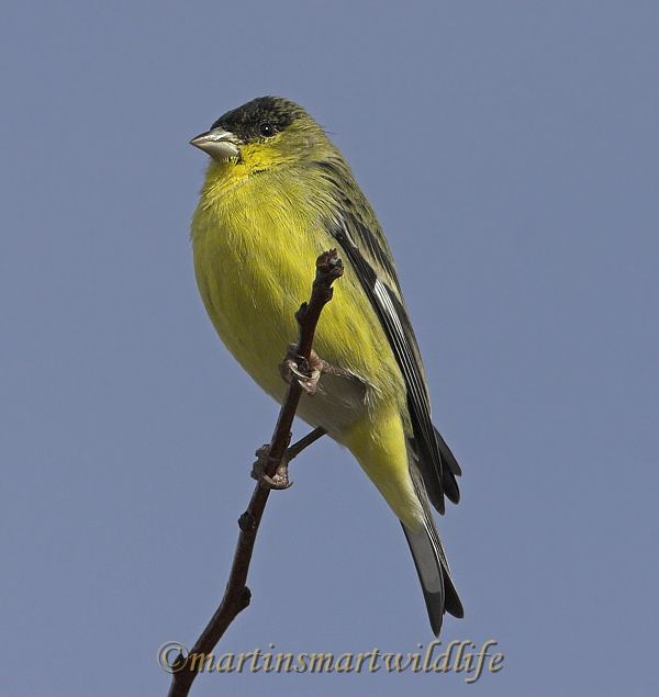 Lesser_Goldfinch_1538x.jpg