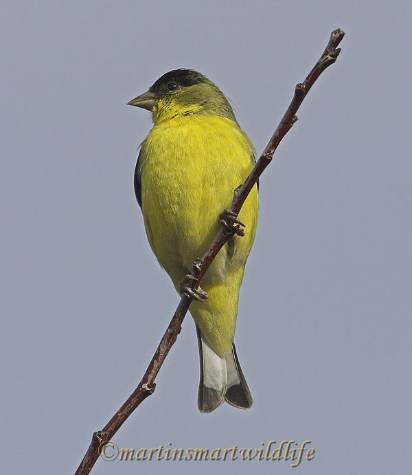 Lesser_Goldfinch_1590x.jpg