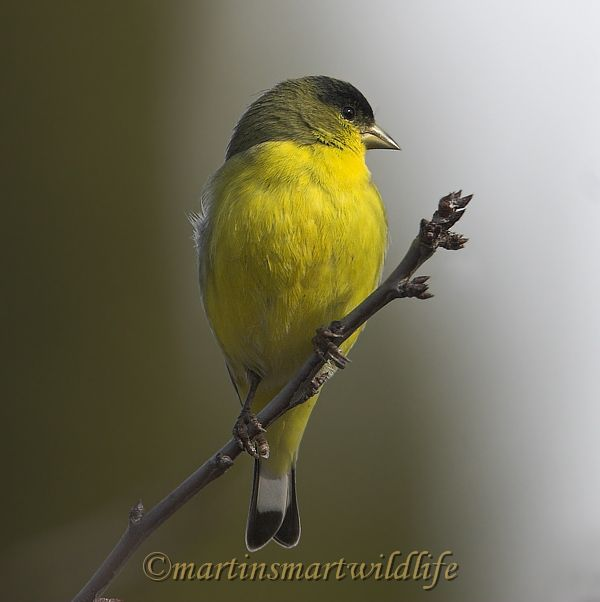 Lesser_Goldfinch_1603x.jpg