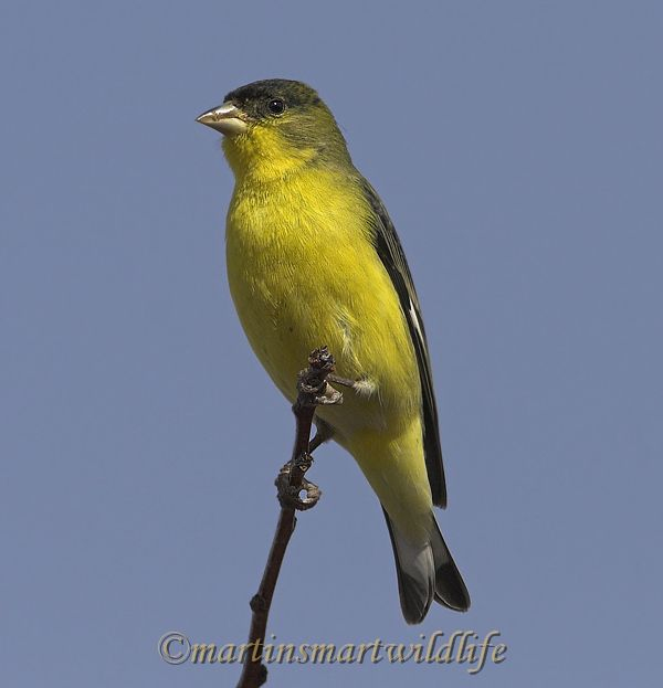 Lesser_Goldfinch_1608x.jpg