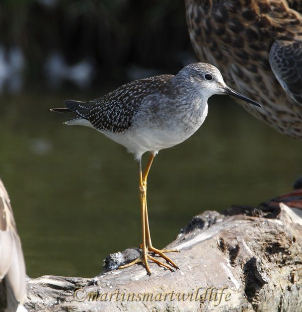 Lesser_Yellowlegs_8887x.jpg