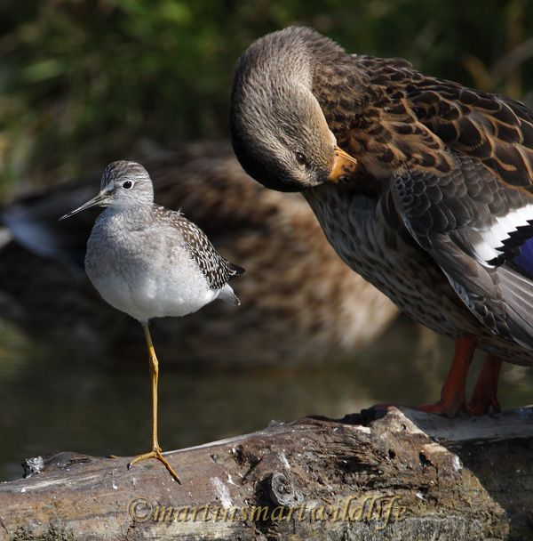 Lesser_Yellowlegs_8900x.jpg
