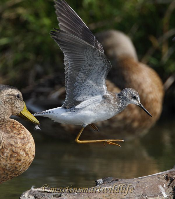 Lesser_Yellowlegs_8905x.jpg