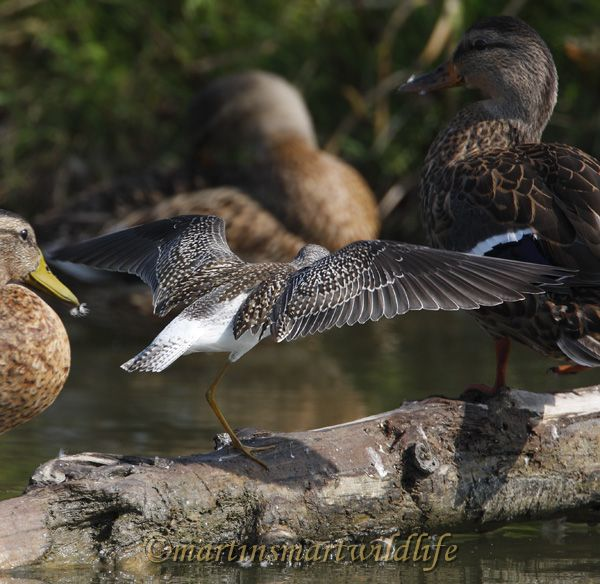 Lesser_Yellowlegs_8906x.jpg