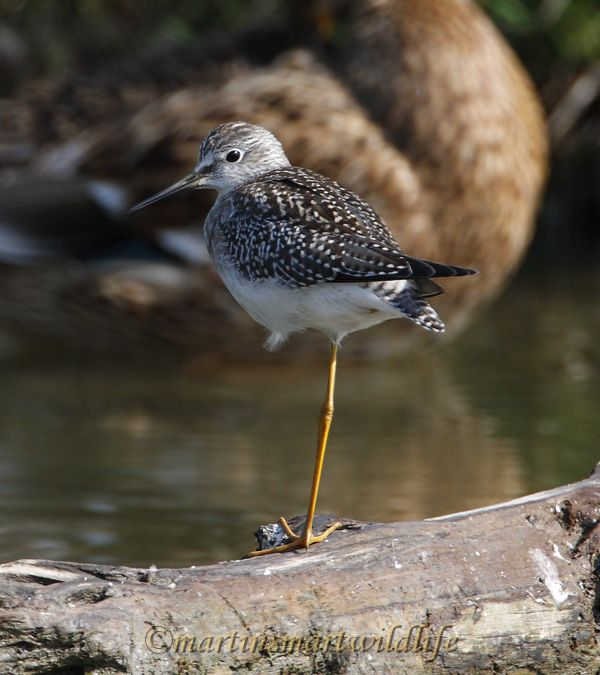 Lesser_Yellowlegs_8907x.jpg